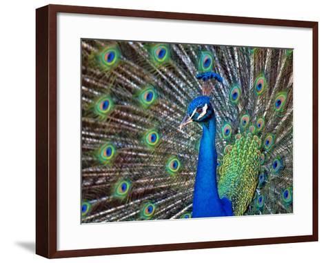 Magnificent Peacock-Sandra L. Grimm-Framed Art Print