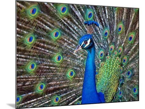 Magnificent Peacock-Sandra L. Grimm-Mounted Photographic Print