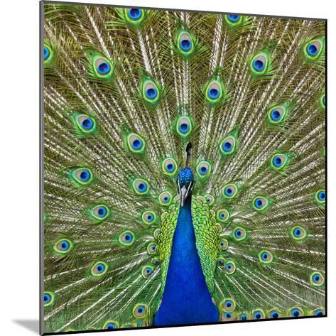 Peacock Displaying its Colorful Feathers-Stuart Dee-Mounted Photographic Print