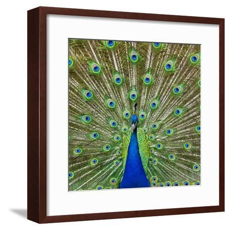 Peacock Displaying its Colorful Feathers-Stuart Dee-Framed Art Print