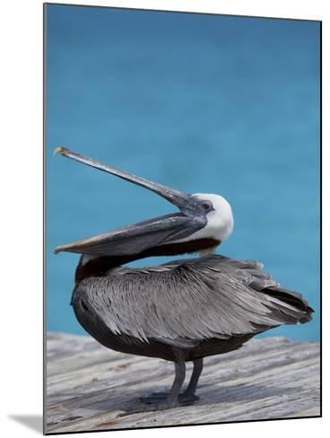 Brown Pelican Dock, Caribbean-Chel Beeson-Mounted Photographic Print