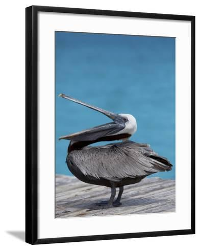 Brown Pelican Dock, Caribbean-Chel Beeson-Framed Art Print