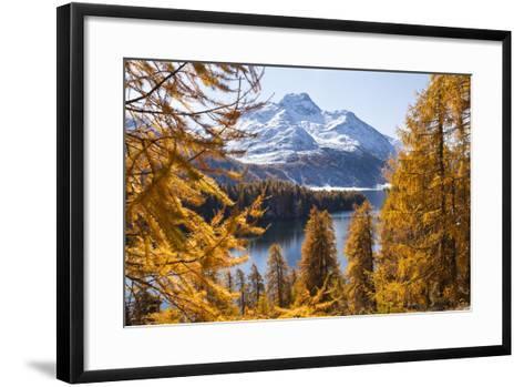 Larch Trees by Lake Sils and Piz De La Margna, Engadin, Switzerland-F. Lukasseck-Framed Art Print