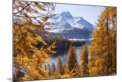 Larch Trees by Lake Sils and Piz De La Margna, Engadin, Switzerland-F. Lukasseck-Mounted Photographic Print
