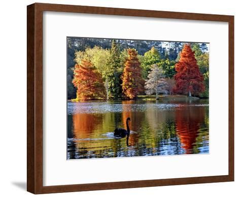 Black Swan in Autumn-Steve Clancy Photography-Framed Art Print