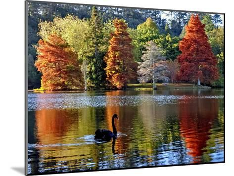 Black Swan in Autumn-Steve Clancy Photography-Mounted Photographic Print