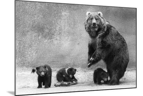 Kodiak Bear Family-Evening Standard-Mounted Photographic Print