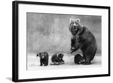 Kodiak Bear Family-Evening Standard-Framed Art Print