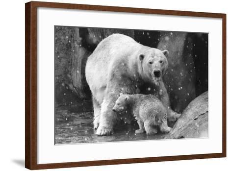 Polar Bear Family-Evening Standard-Framed Art Print