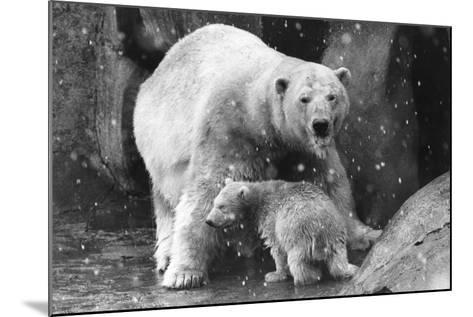 Polar Bear Family-Evening Standard-Mounted Photographic Print