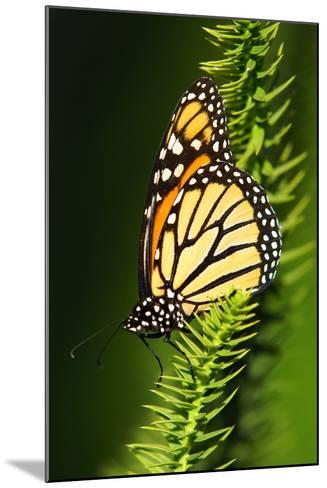 Monarch Butterfly--Mounted Photographic Print