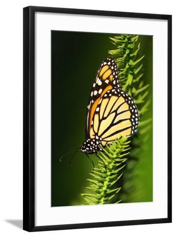 Monarch Butterfly--Framed Art Print