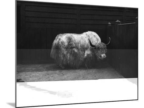 Yak--Mounted Photographic Print