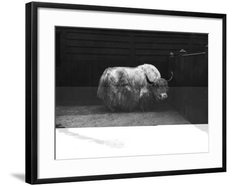Yak--Framed Art Print