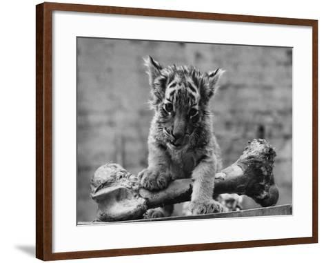 Abandoned Cub-William Vanderson-Framed Art Print
