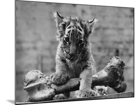 Abandoned Cub-William Vanderson-Mounted Photographic Print