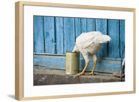 A White Chicken Thrusts its Head into a Tin Can in Front of a Turquoise Painted Rough Timber Wall,-Doug Meikle  Dreaming Track Images-Framed Art Print