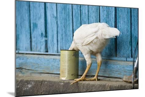 A White Chicken Thrusts its Head into a Tin Can in Front of a Turquoise Painted Rough Timber Wall,-Doug Meikle  Dreaming Track Images-Mounted Photographic Print