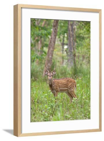 A Chital or Spotted Deer in Muthanga Wildlife Sanctuary, Wayanad, Kerala-Cultura Travel/Philip Lee Harvey-Framed Art Print