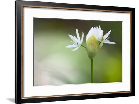 Blooming Wild Garlic (Allium Ursinum)-Ingmar Wesemann-Framed Art Print