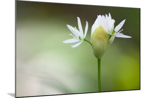 Blooming Wild Garlic (Allium Ursinum)-Ingmar Wesemann-Mounted Photographic Print