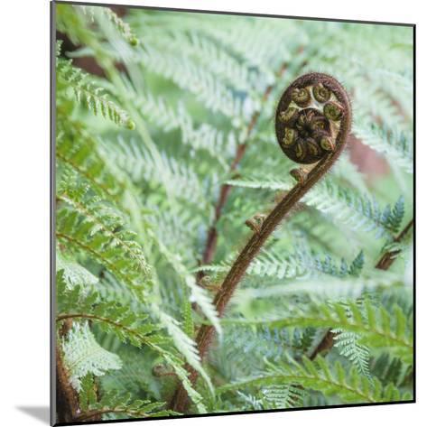 Fiddlehead on Giant Tree Fern-David Madison-Mounted Photographic Print