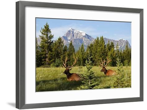 Elks at Bow Valley, Banff Nationalpark, Alberta-Hans Peter Merten-Framed Art Print