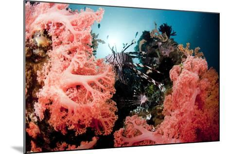 Red Lionfish and Corals-Yusuke Okada/a.collectionRF-Mounted Photographic Print