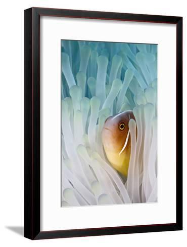 Pink Skunk Clownfish-liquid kingdom - kim yusuf underwater photography-Framed Art Print