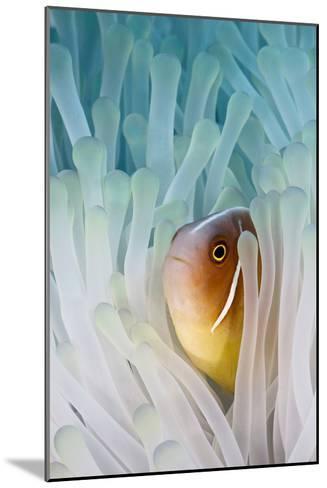 Pink Skunk Clownfish-liquid kingdom - kim yusuf underwater photography-Mounted Photographic Print
