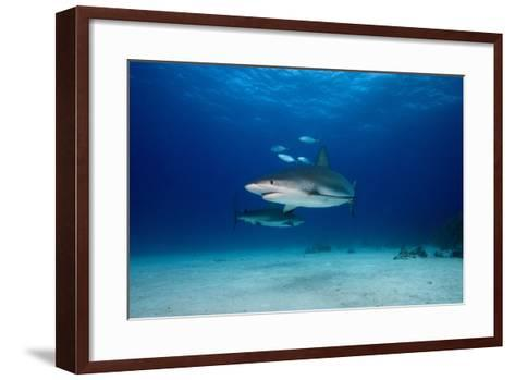 Caribbean Reef Sharks-James R.D. Scott-Framed Art Print