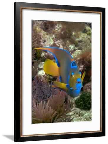 Queen Angel Angelfish Holacanthus Ciliaris, Florida Keys National Marine Sanctuary, Key Largo Flori-Dickson Images-Framed Art Print