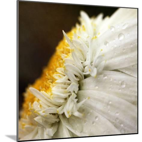 Chrysanthemum Daisy with Raindrops-Nichola Sarah-Mounted Photographic Print