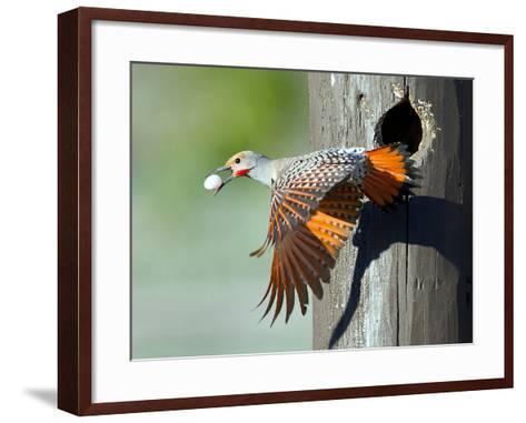 Northern Flicker-CR Courson-Framed Art Print