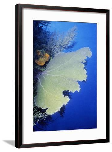 Close-Up of a Common Sea Fan (Gorgonia Ventalina), Cayman Islands, West Indies-Glowimages-Framed Art Print