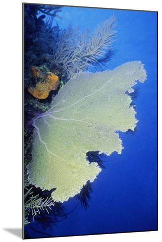 Close-Up of a Common Sea Fan (Gorgonia Ventalina), Cayman Islands, West Indies-Glowimages-Mounted Photographic Print