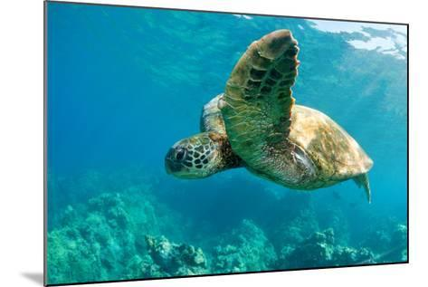 Sea Turtle Fly-M Sweet-Mounted Photographic Print
