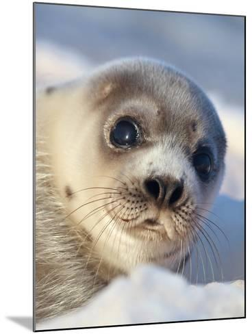Young Harp Seal-Stephen Desroches-Mounted Photographic Print