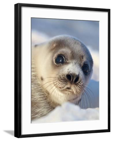 Young Harp Seal-Stephen Desroches-Framed Art Print