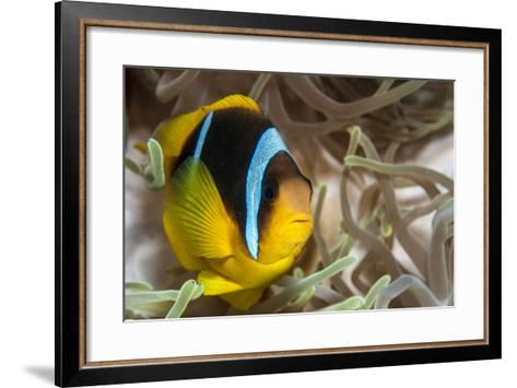Clark's Anemonefish-Lea Lee-Framed Art Print
