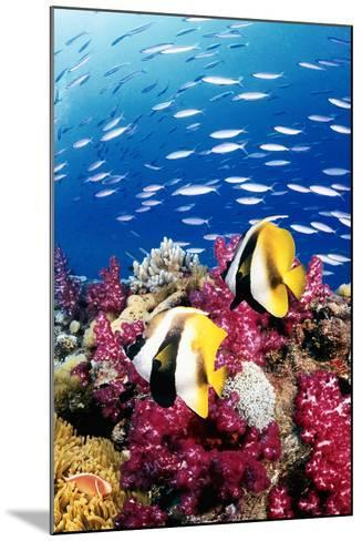 Australia, Bannerfish on the Great Barrier Reef (Digital Composite)-Jeff Hunter-Mounted Photographic Print