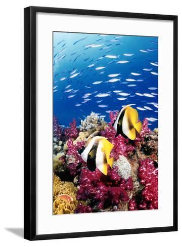 Australia, Bannerfish on the Great Barrier Reef (Digital Composite)-Jeff Hunter-Framed Art Print
