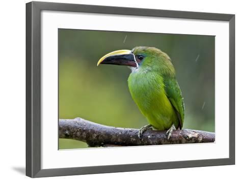 Aulacorhynchus Prasinus Albivitta-Photo by Priscilla Burcher-Framed Art Print