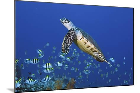 Hawksbill Turtle and Schooling Sergeants-Jones/Shimlock-Secret Sea Visions-Mounted Photographic Print