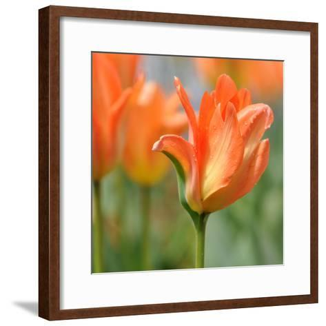 Tulip after Gentle Rain--Framed Art Print