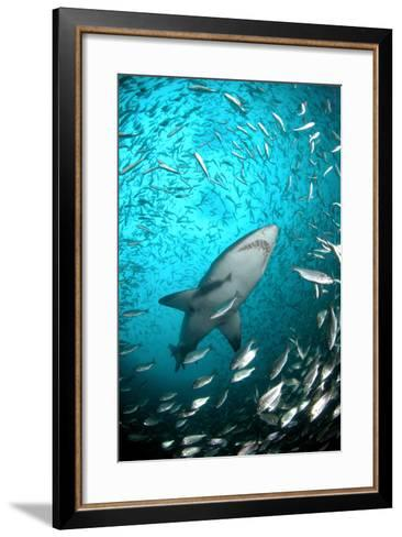 Big Raggie Swims through Baitfish Shoal-Jean Tresfon-Framed Art Print