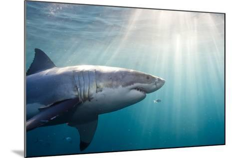 Great White Shark-Stephen Frink-Mounted Photographic Print