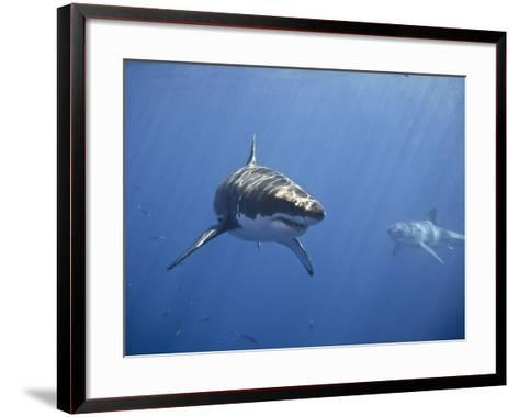 Two Great White Sharks-Photo by George T Probst-Framed Art Print