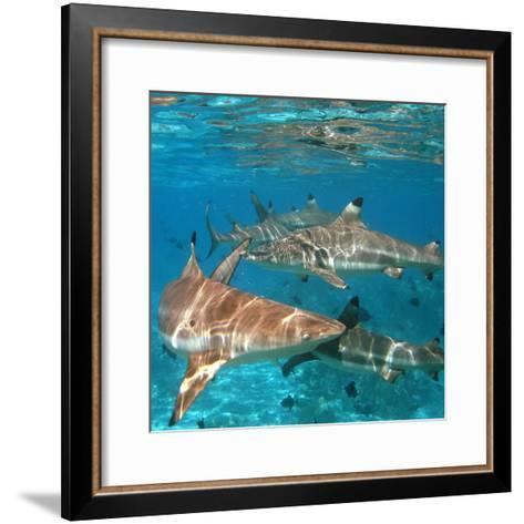 Black Tipped Sharks. Moorea-Mako photo-Framed Art Print