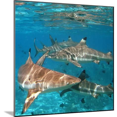Black Tipped Sharks. Moorea-Mako photo-Mounted Photographic Print